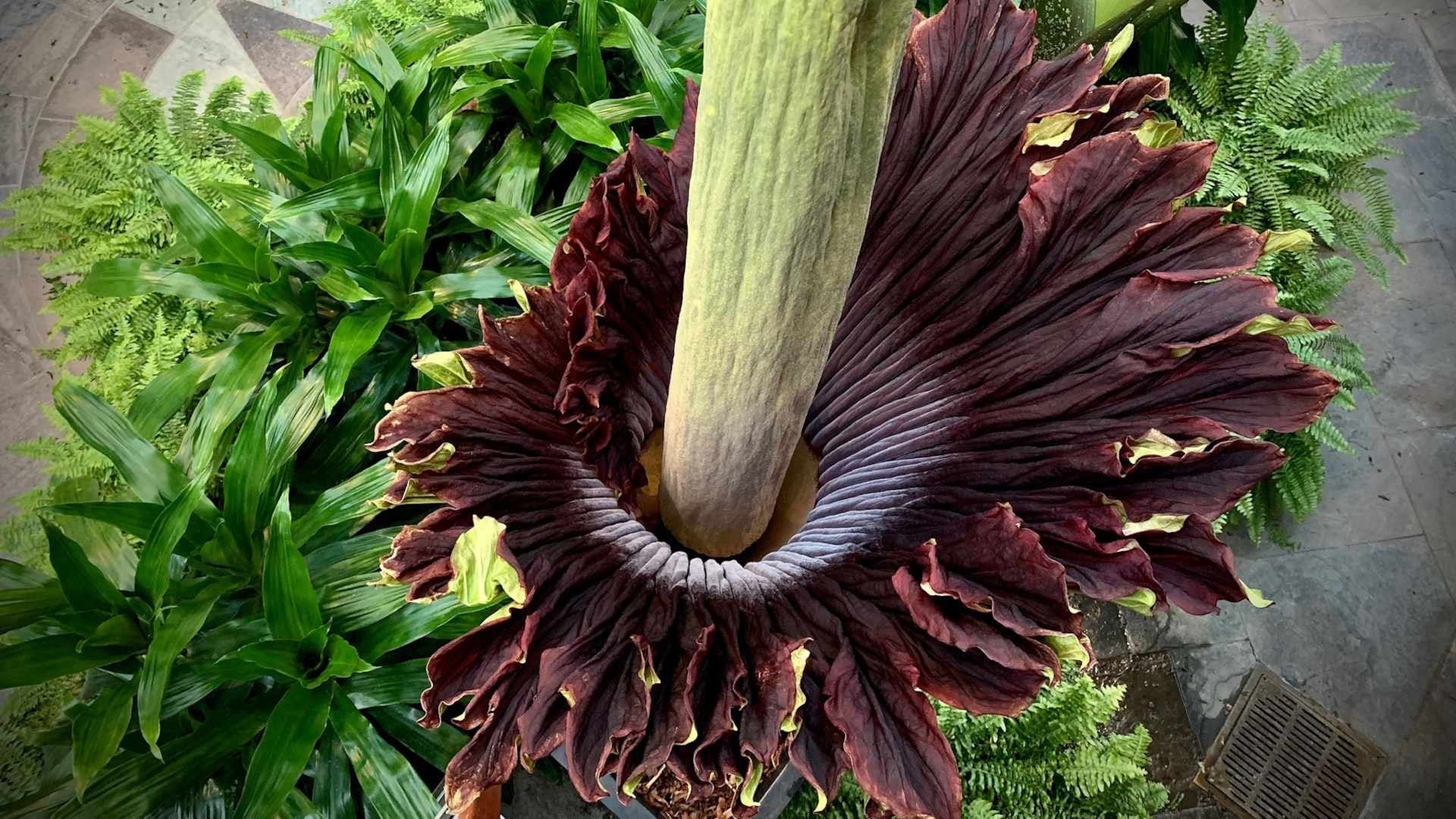 corpse flower from above