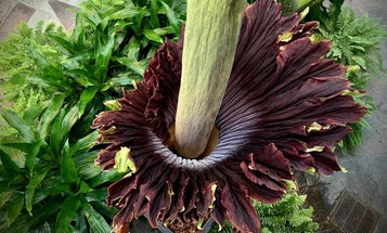 Corpse flowers across the country are swapping pollen to stay stinky