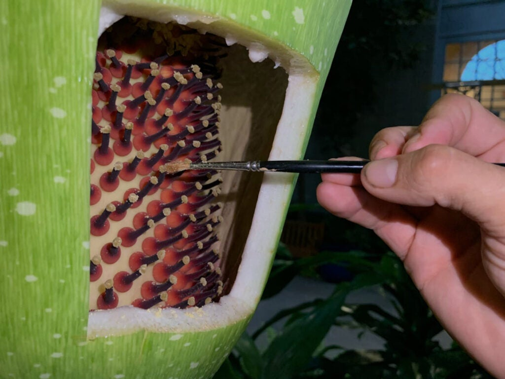 using a paintbrush to pollinate a corpse flower bloom