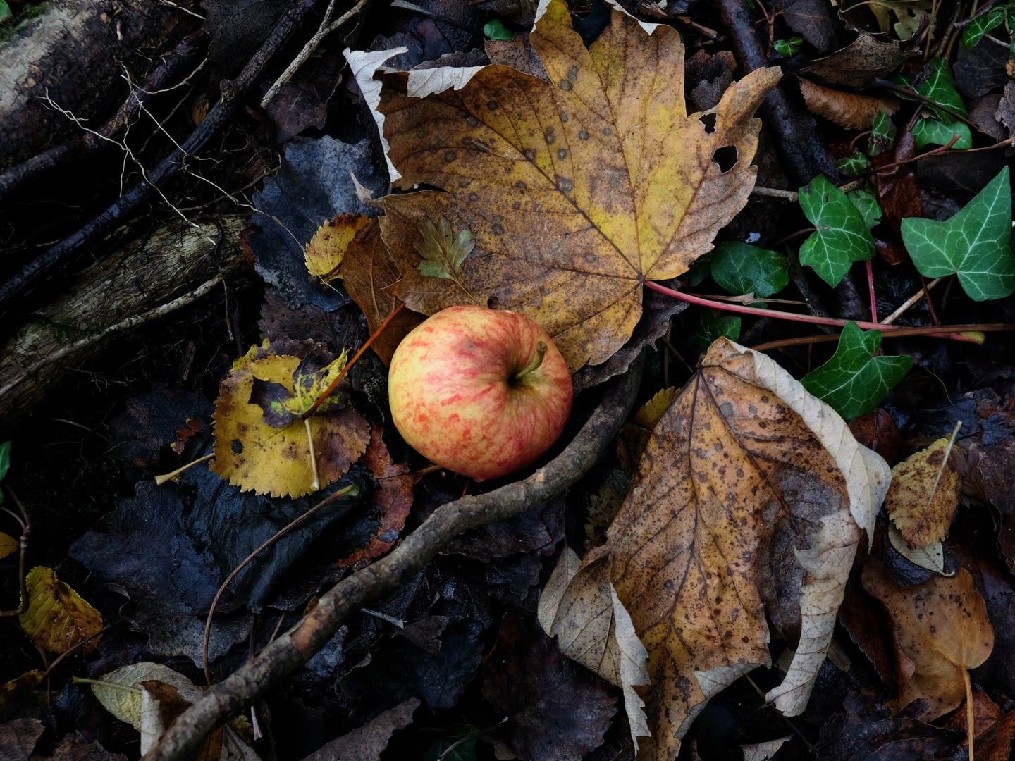 An apple on the ground in the forest, surrounded by fallen leaves.