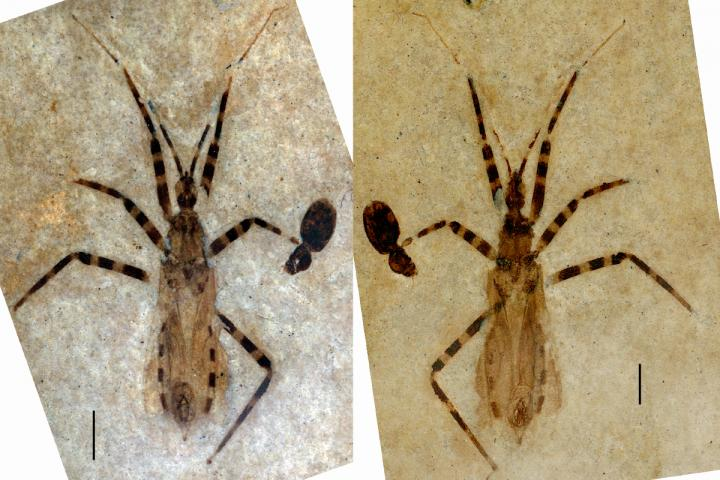 assasin bug preserved fossil