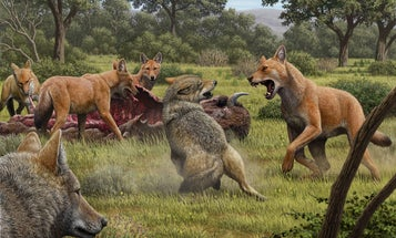 Dire wolves are actually ice age mega-foxes