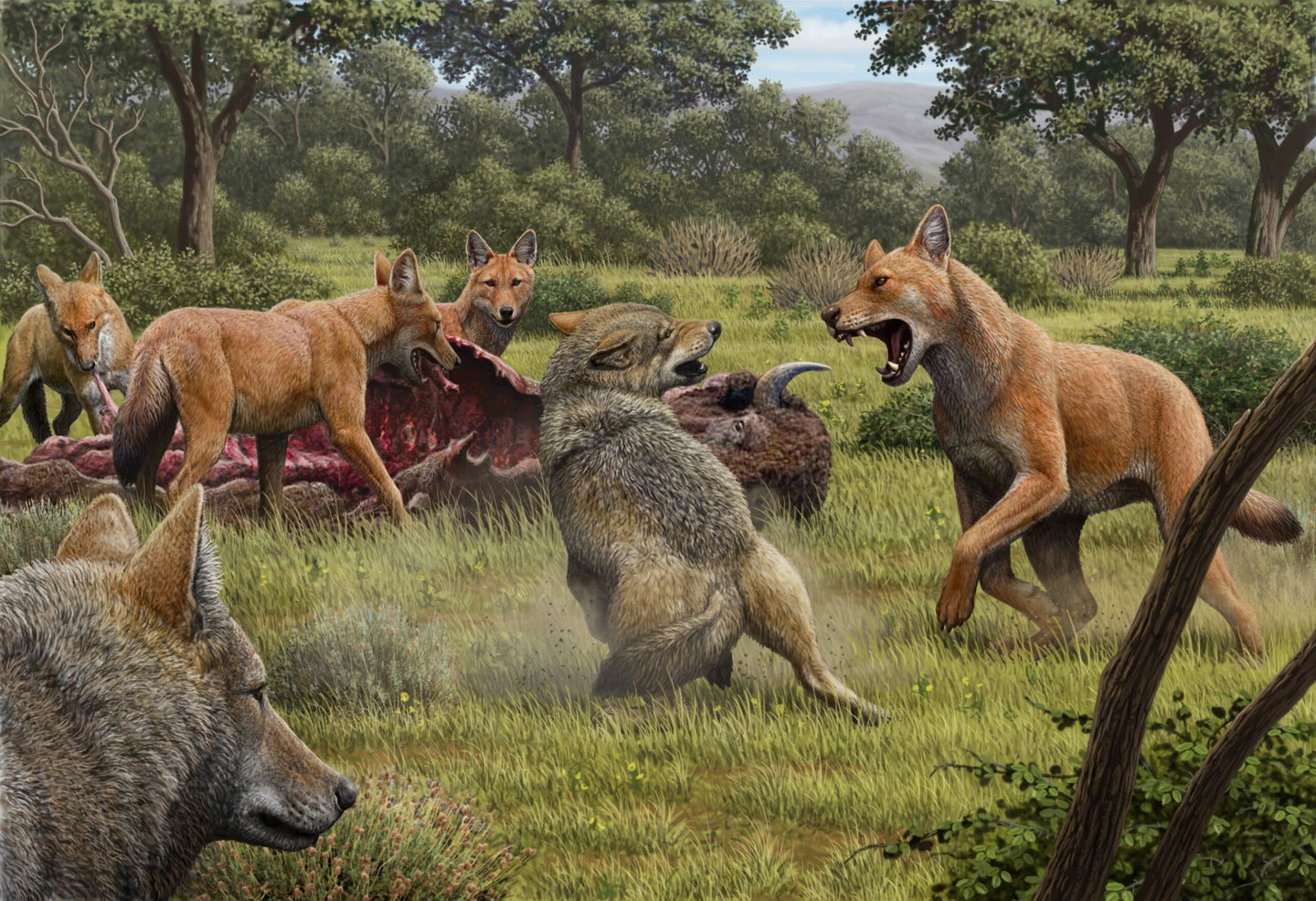 Dire wolves attacking prey and fighting off gray wolves.