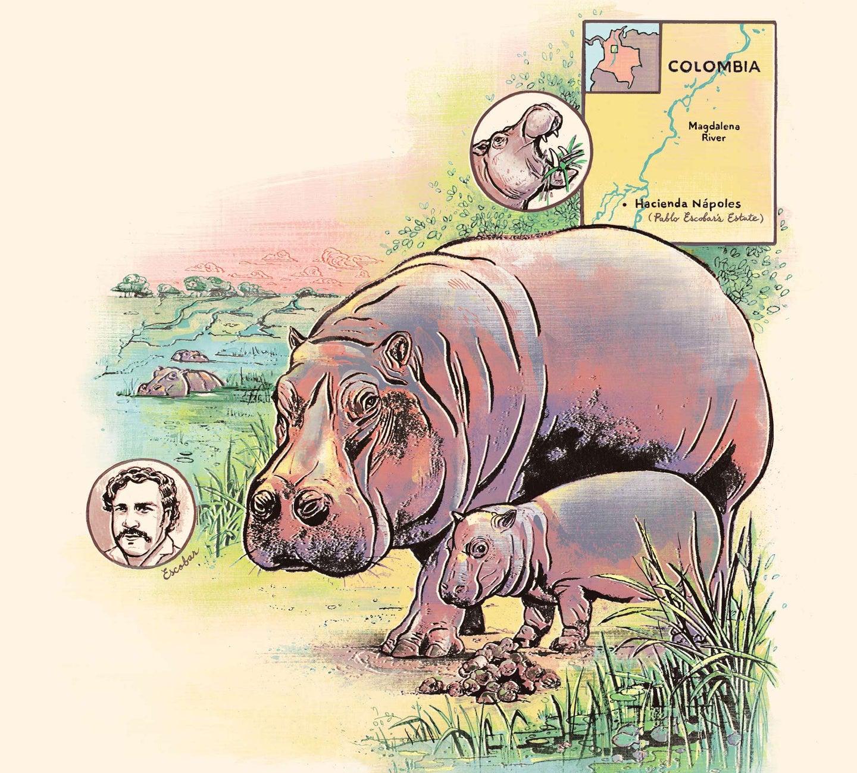 Jacqueline Oakley hippo illustration