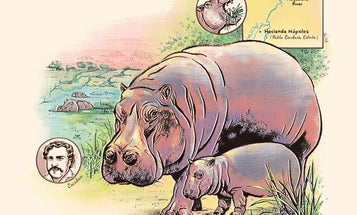 Pablo Escobar's hippos might be filling an ancient ecological niche