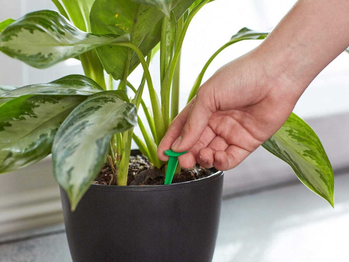 Plant food spike put in plant soil.