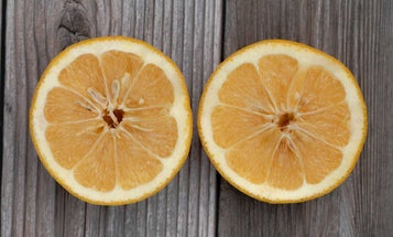 These oranges are for a lot more than juicing