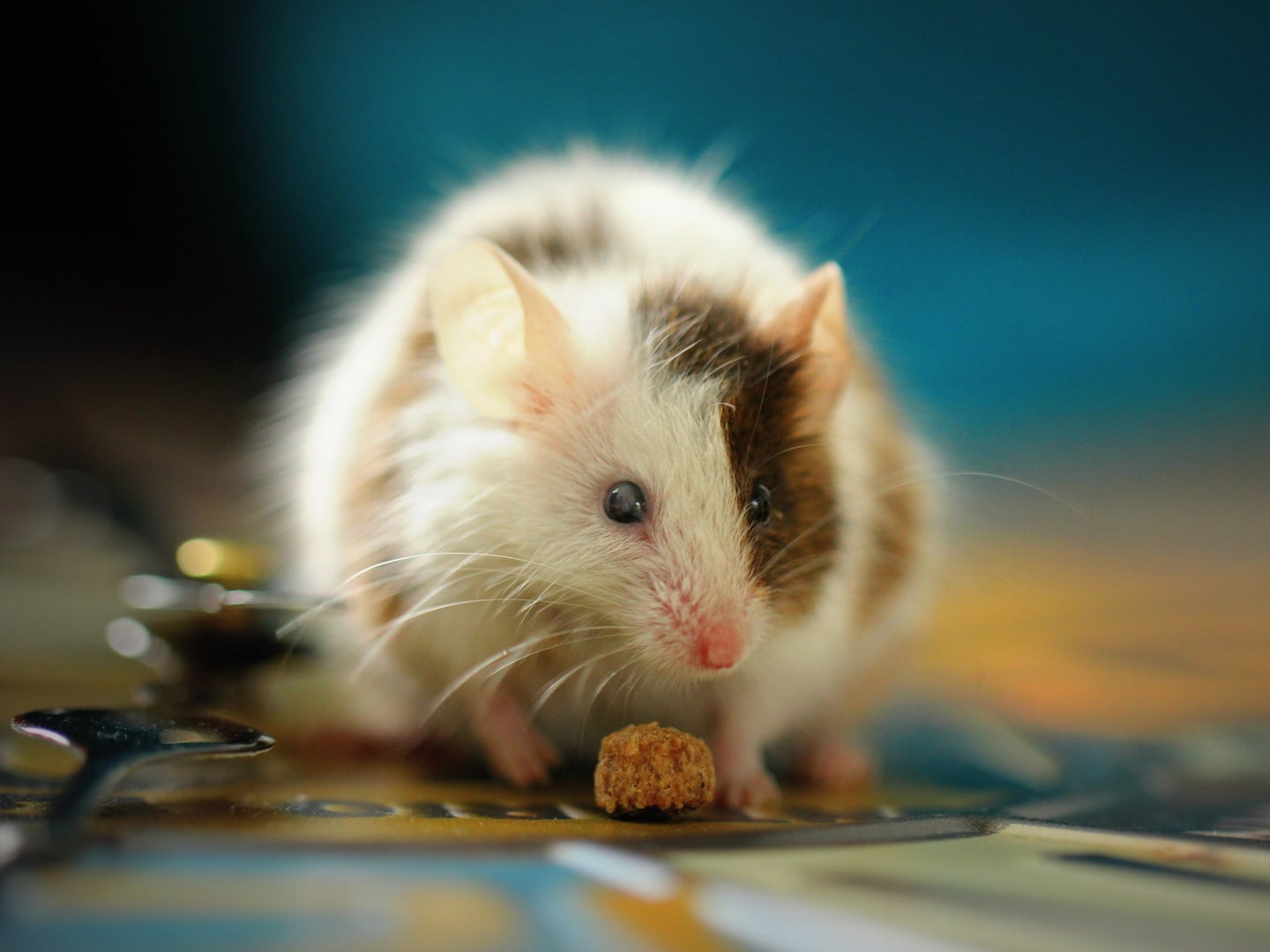 A mouse eating a morsel of food, a scene that would prompt many to wonder how to get rid of mice.