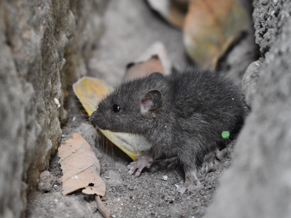 A mouse between two dirt and stone walls. If you use mouse poison, it could die back there where you can't reach it.