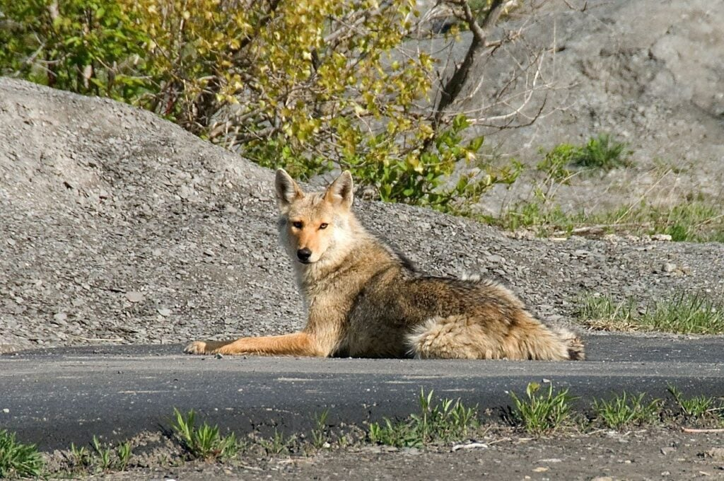 An urban coyote curled up on the asphalt in Chicago.