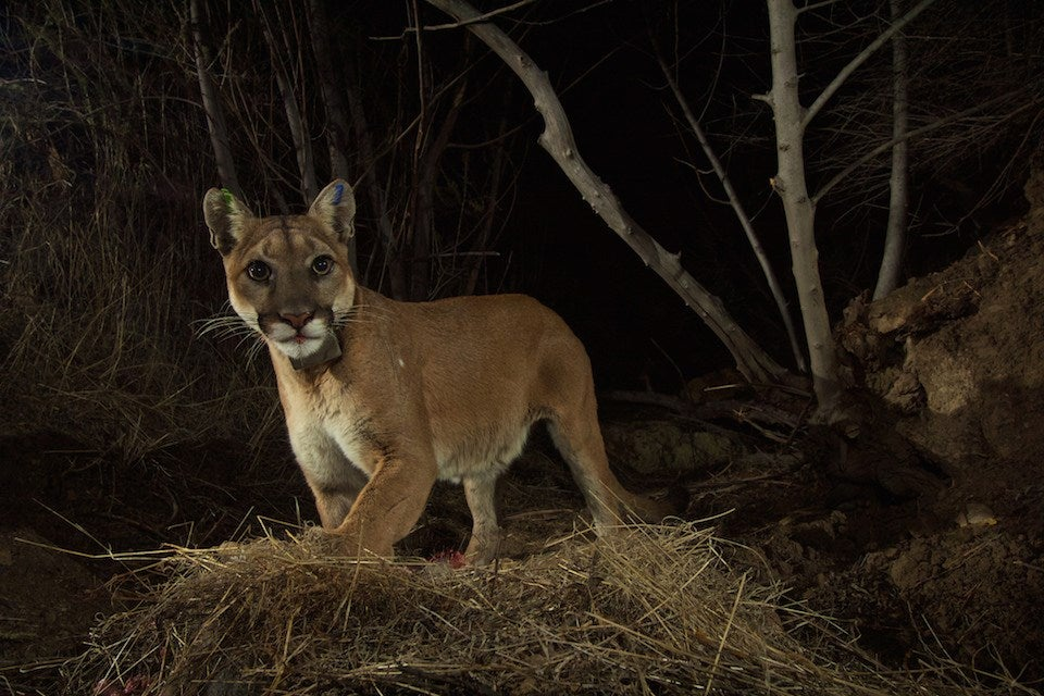 Mountain lions are flourishing in Los Angeles and the Santa Monica mountain range.
