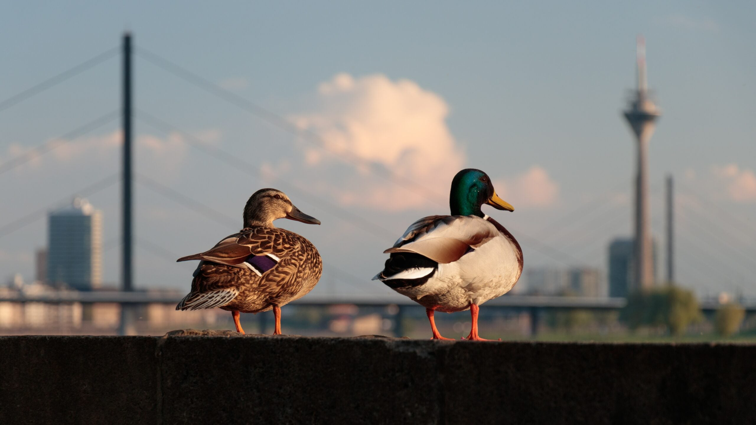A mallard hen and drake perched on a concrete embankment near a city.
