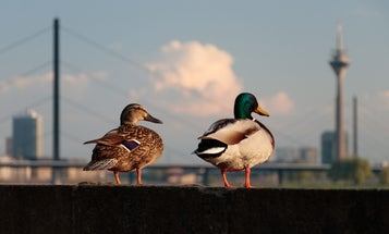 Four wild animals that are thriving in cities