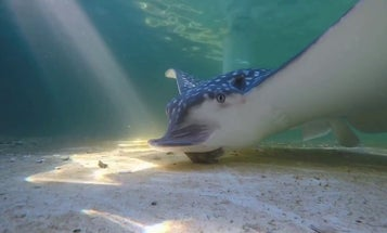 Listen to the soothing sounds of a snacking stingray