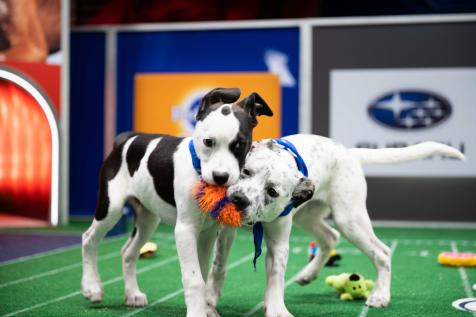 Two black and white puppies fighting over a toy on the Puppy Bowl field