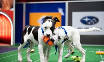 Doggie DNA tests help predict the breeds that will be Puppy Bowl MVPs