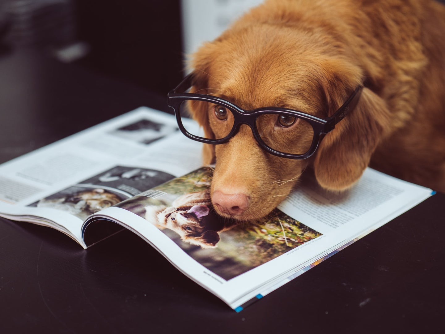 A retriever puppy wearing black glasses with its head on a dog magazine