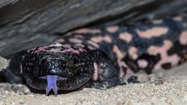 A captive Gila monster in a glass case with its purple tongue sticking out