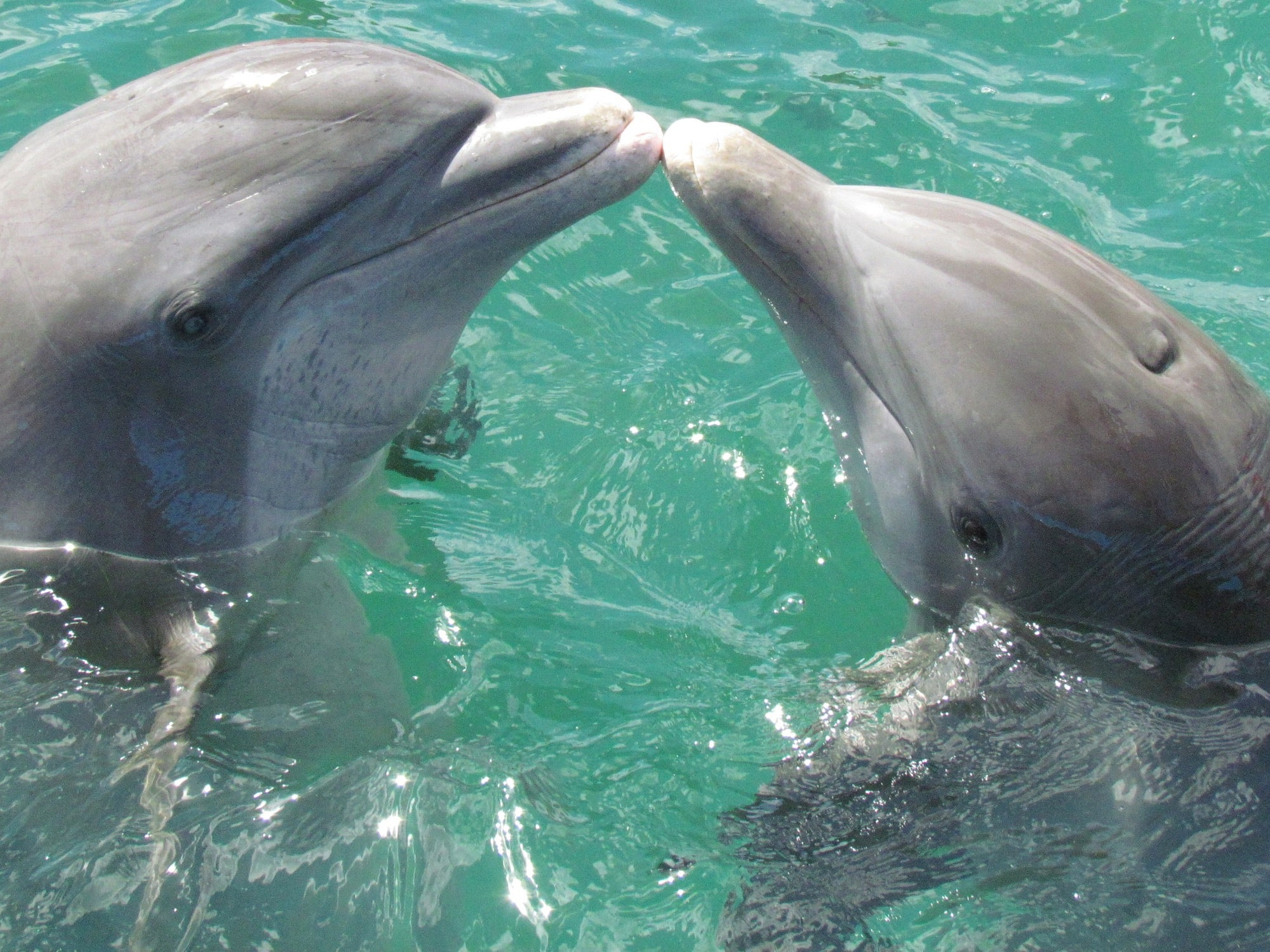 dolphins touching noses