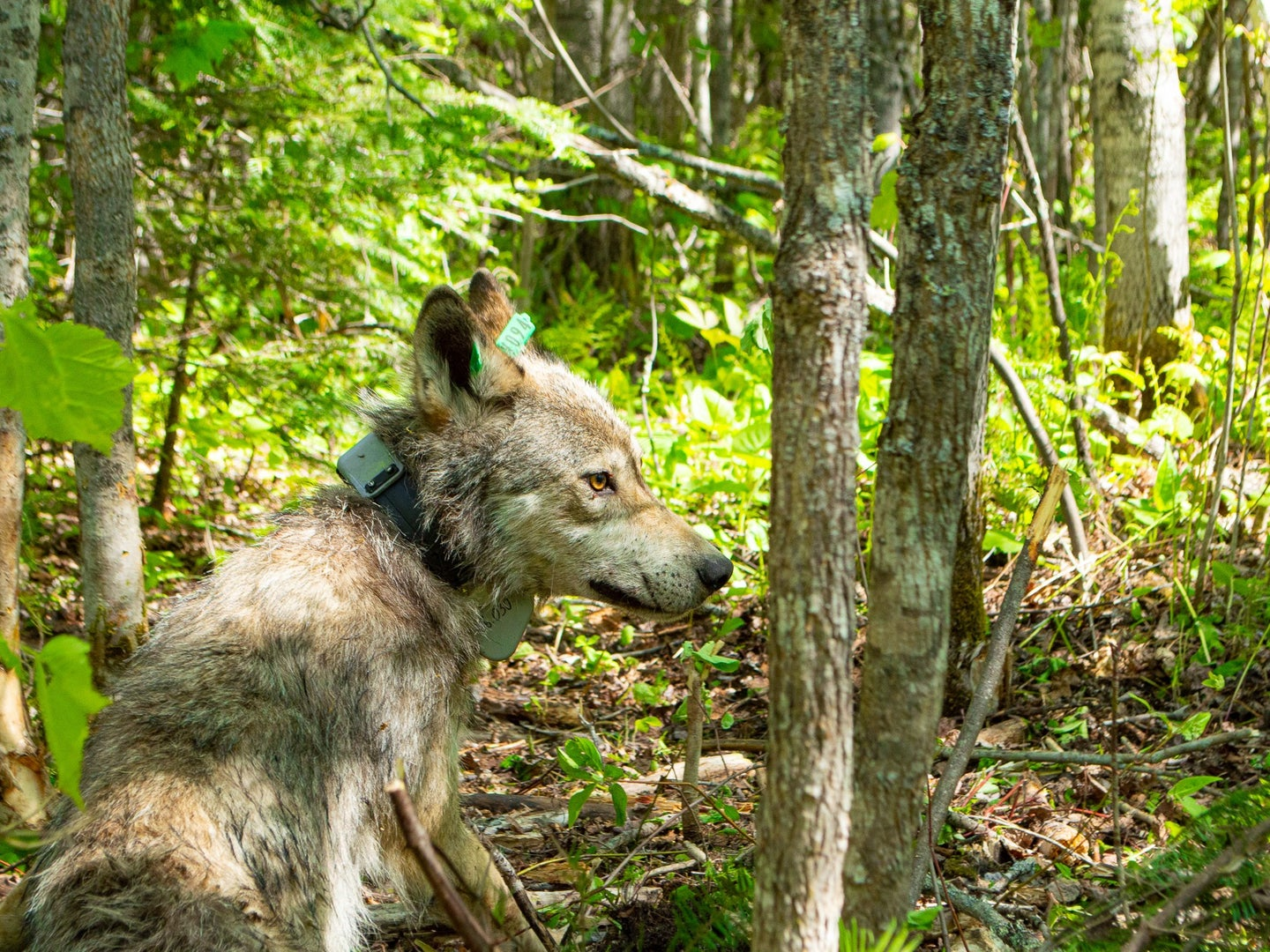 a lone wolf walking around the forest