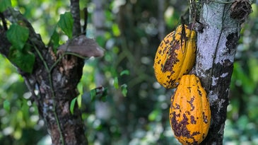 A mature cacao tree with the unripe fruits that are used to make chocolate