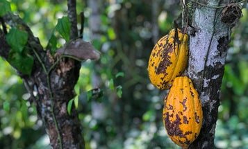 Cacao growers are bugging out about our chocolate supply