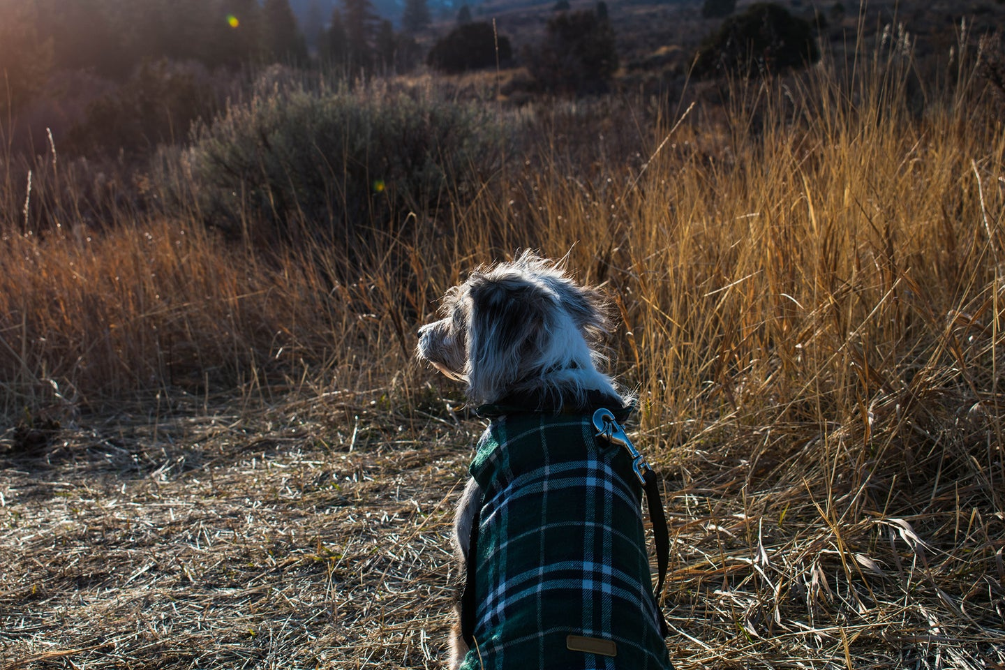 small dog in a plaid dog jacket in a corn field