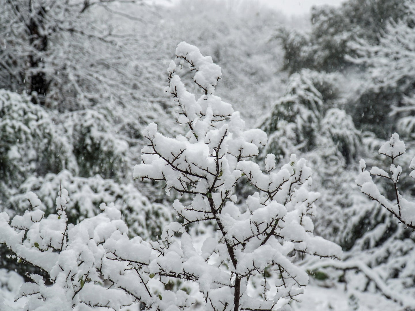 snow on tree branches in texas