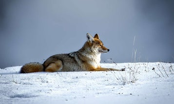 Eastern coyotes are increasingly common—here are 5 facts to know about them