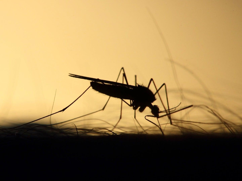 mosquito feeding