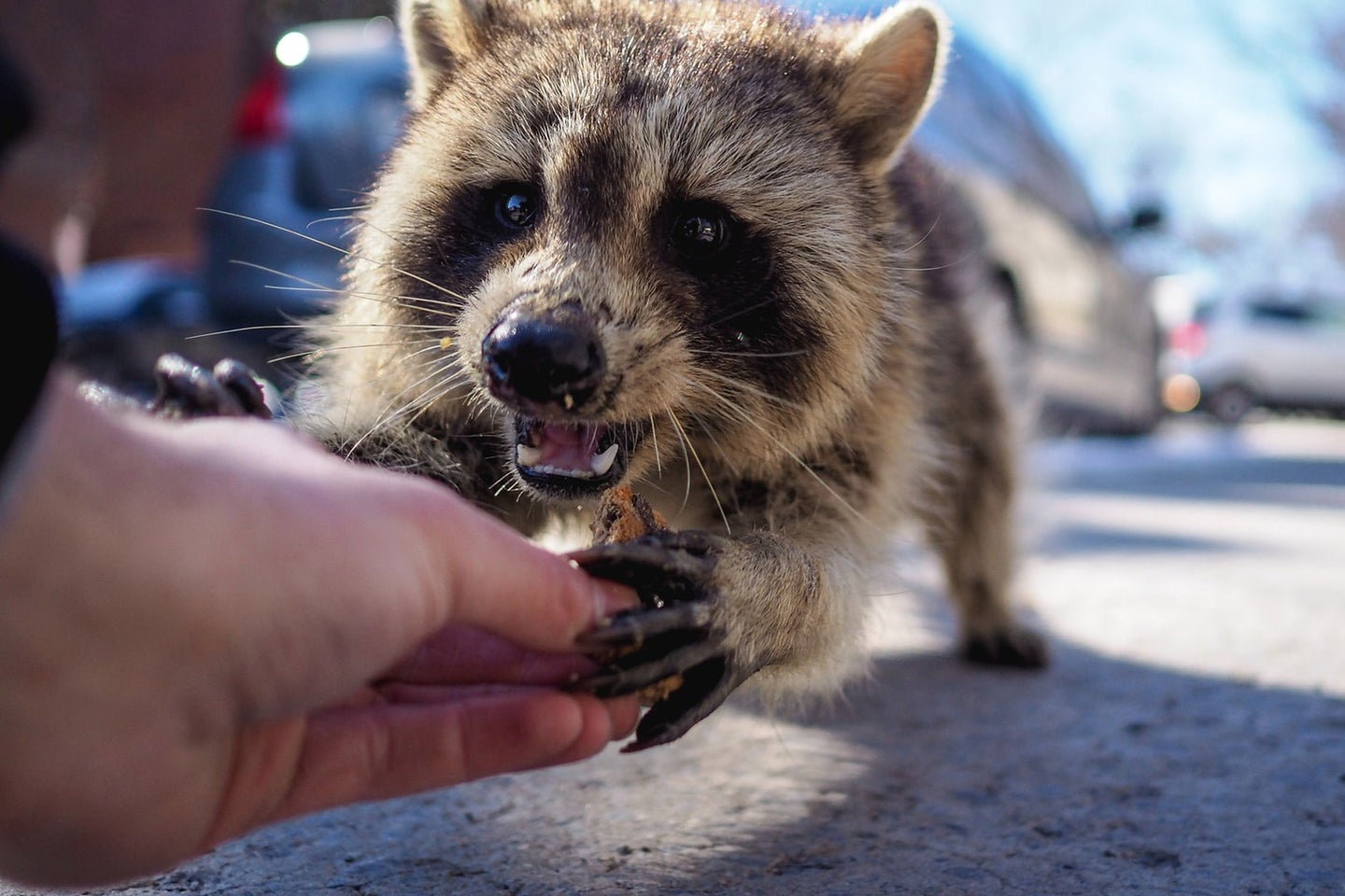 person giving food to a racoon