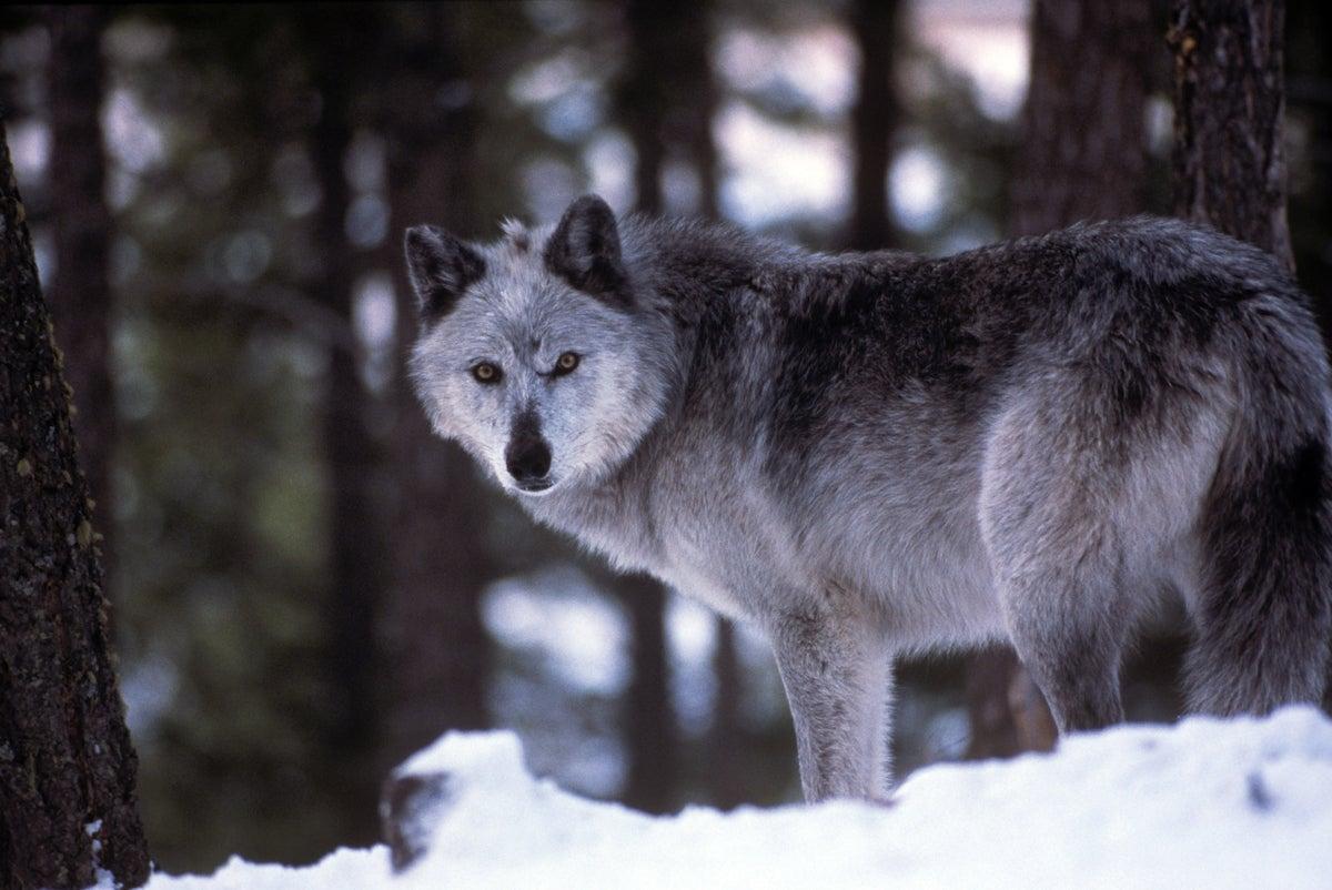 wisconsin wolf hunt