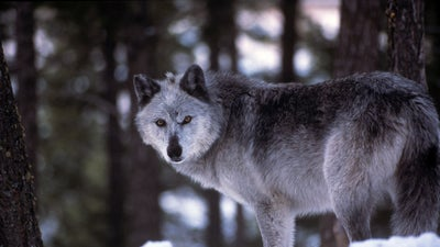 Wisconsin hunters have already killed more gray wolves than allowed