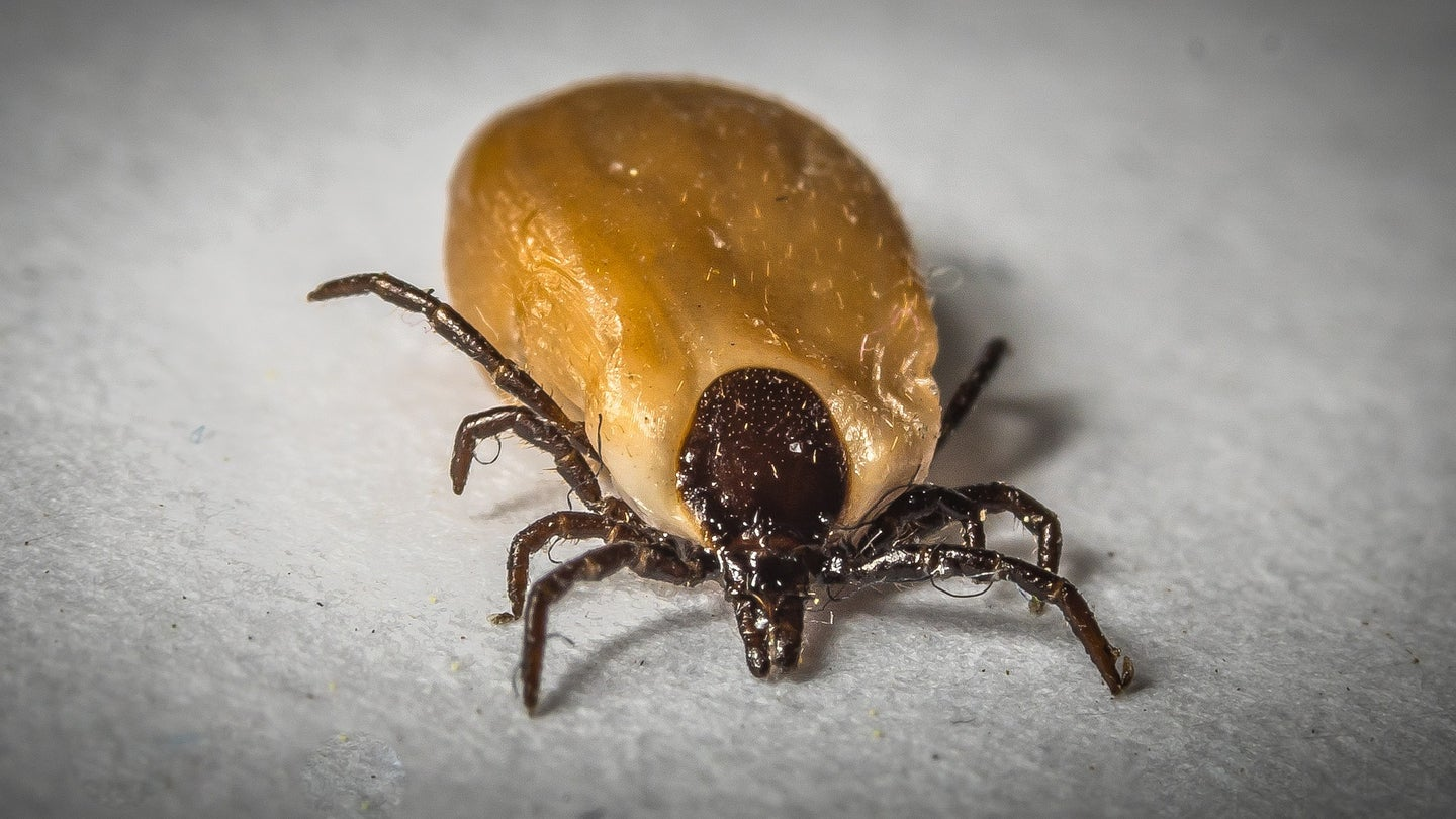 Close up detailed photograph of a tick on a grey background.