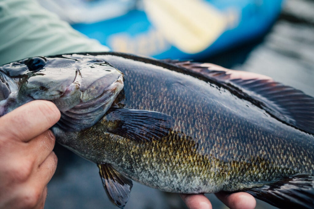 A bronzeback smallmouth bass from West Virginia's New River Gorge Park and Preserve.