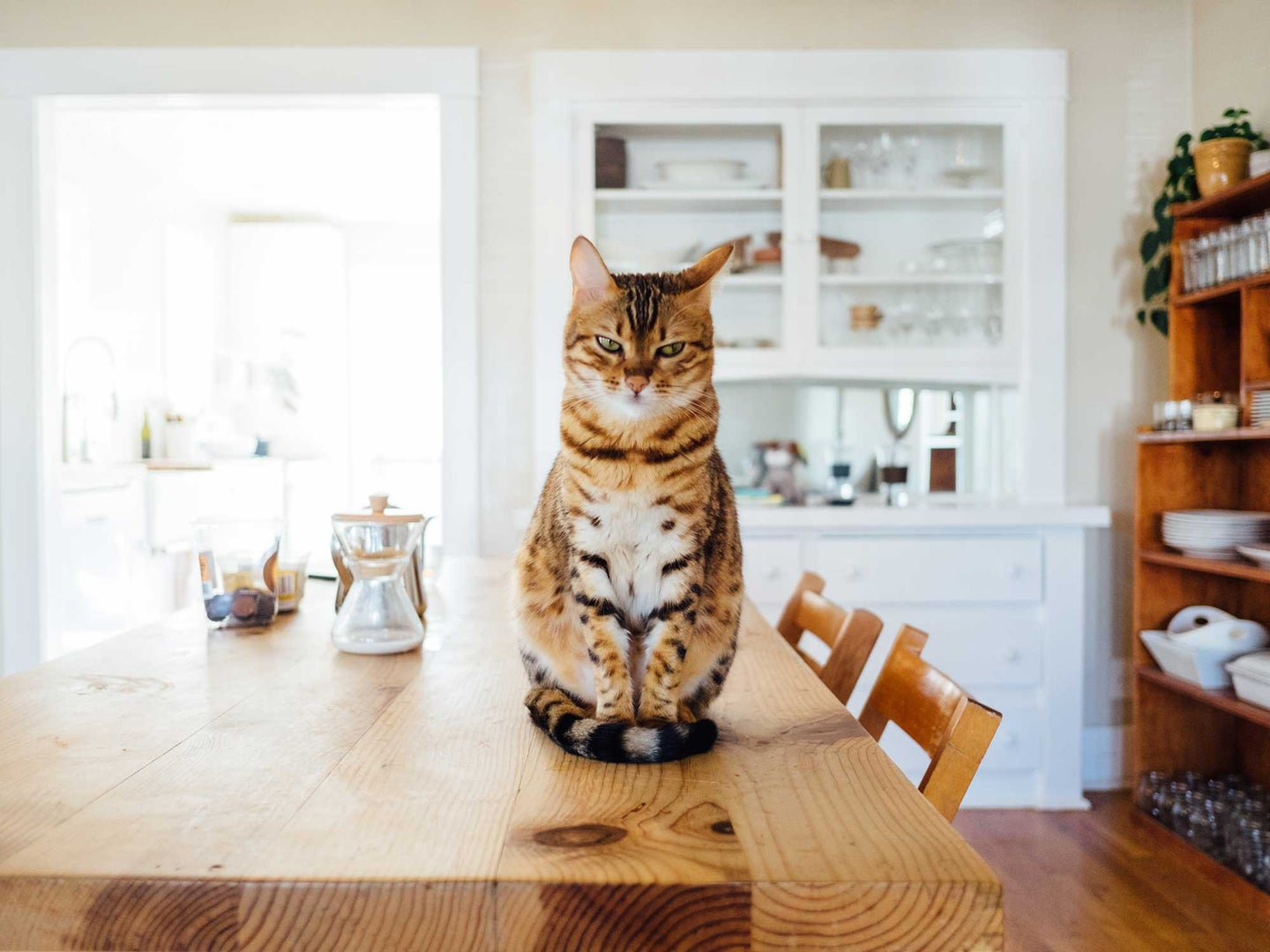 Orange cat sitting on a dining table