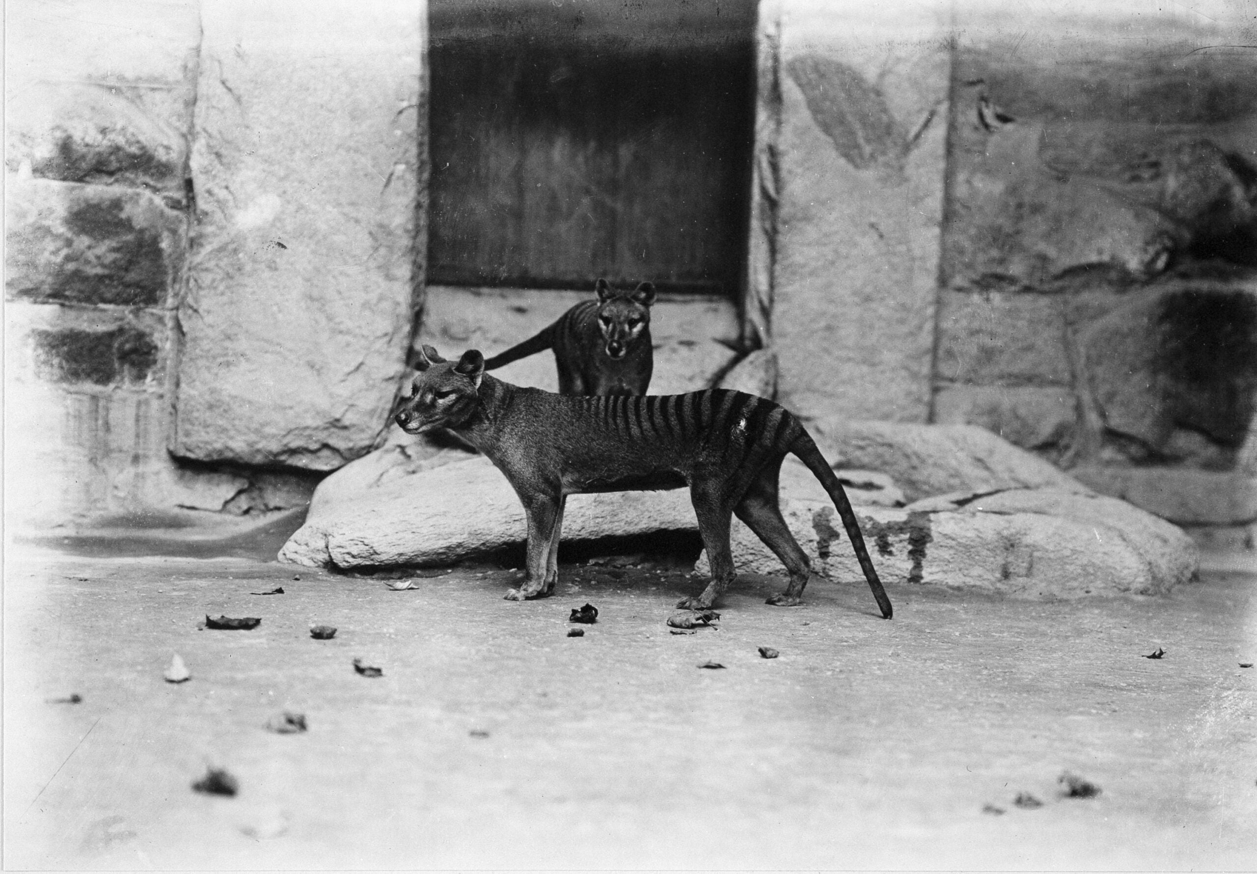 thylacines at national zoo