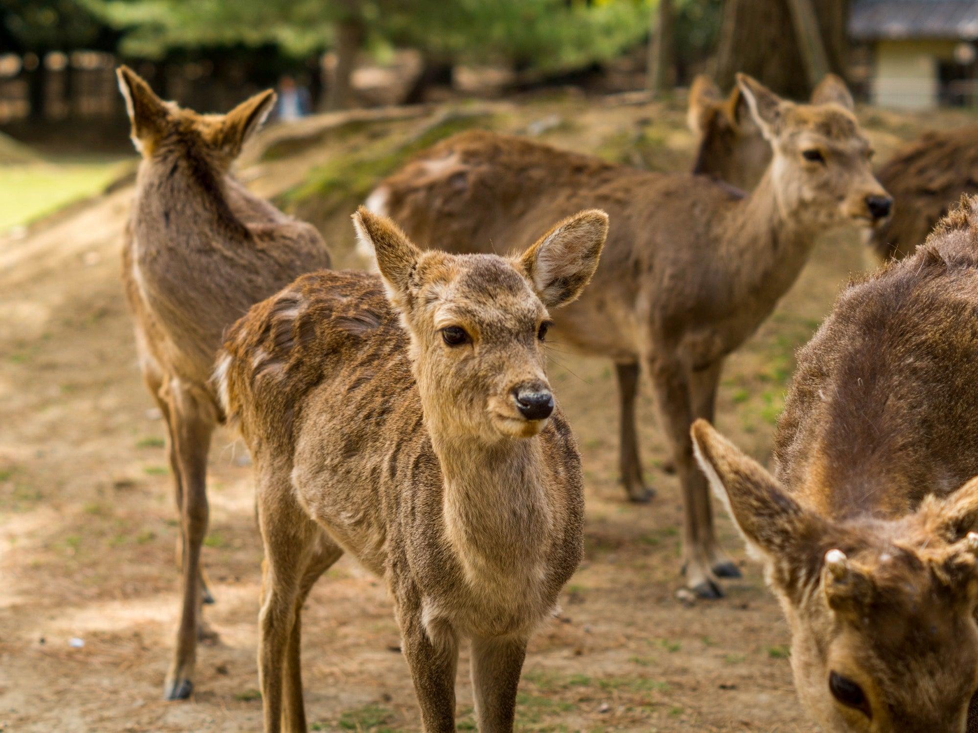 sika deer in nara park, japan