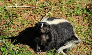 Watch a black bear take on a striped skunk in a surprising faceoff