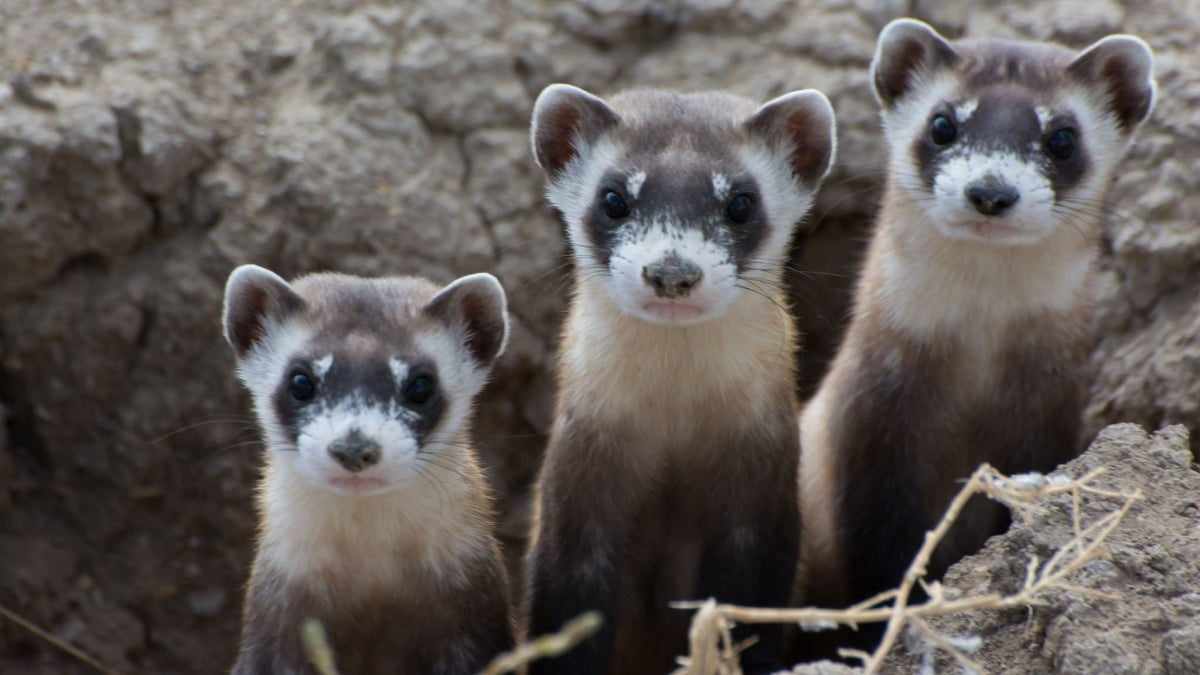 three black-footed ferrets
