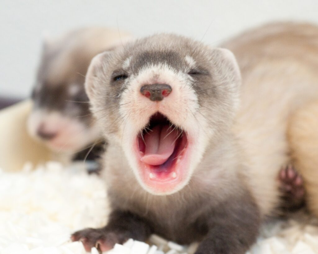baby black-footed ferret