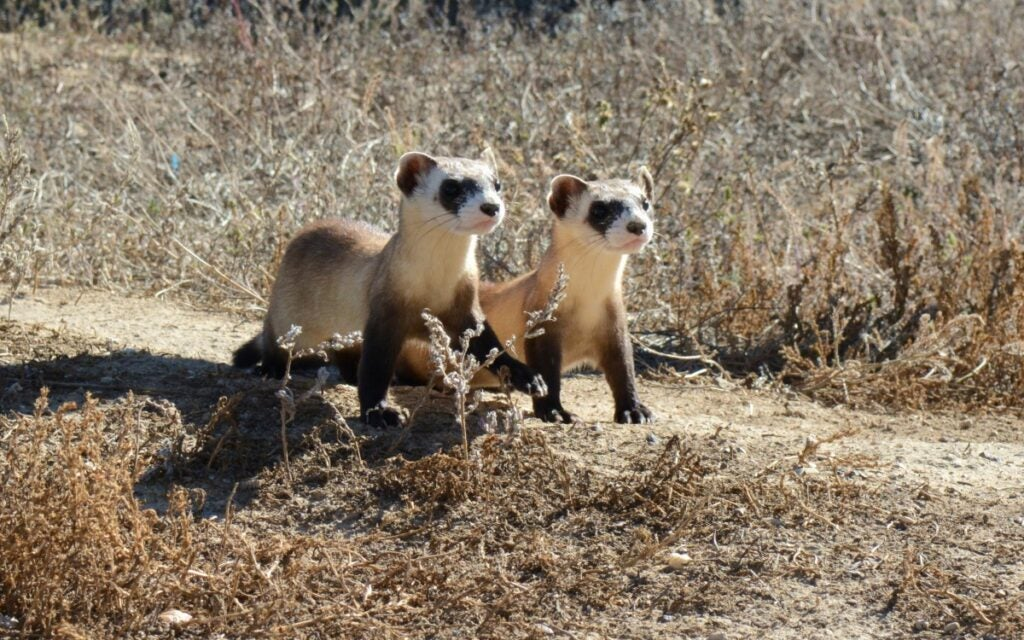 two young black-footed ferrets
