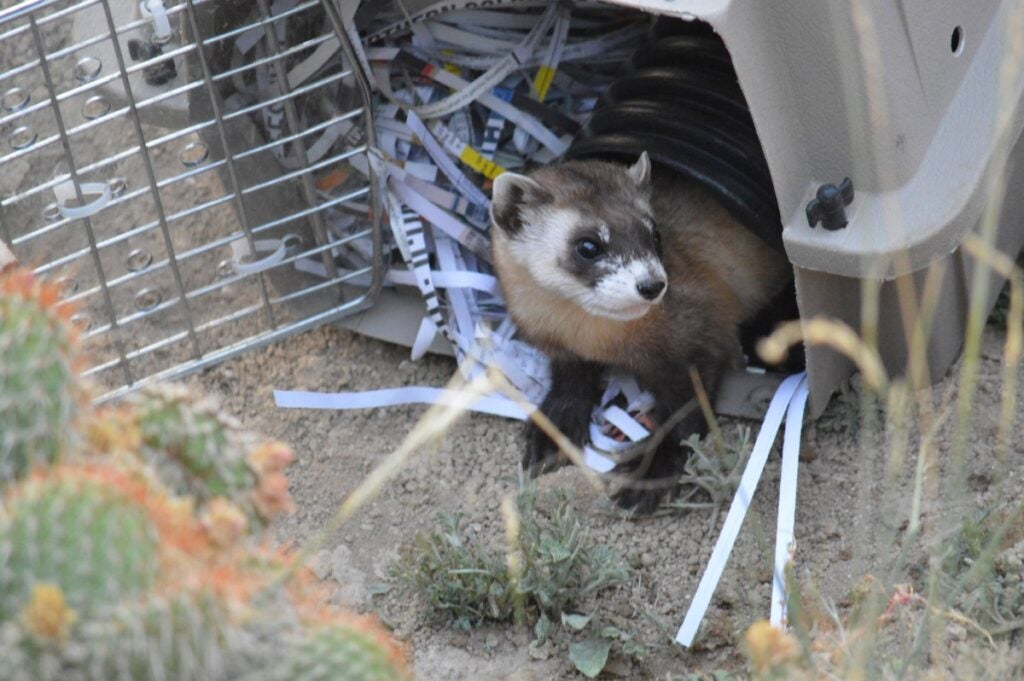 black-footed ferret being released from a cage