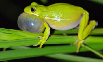 Treefrogs have noise-cancelling headphones built into their ears
