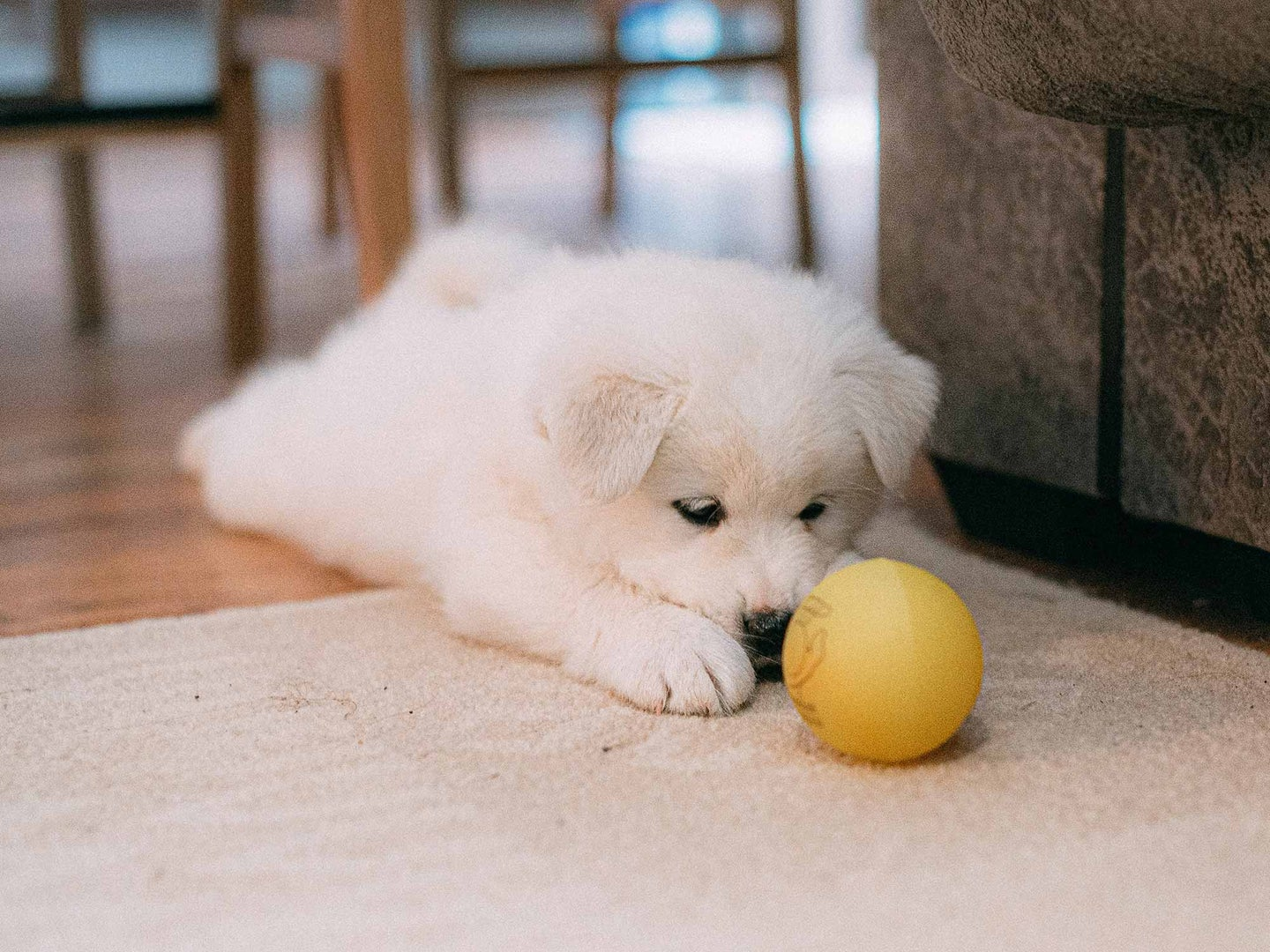 Fluffy white puppy with yellow ball