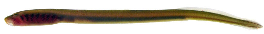 larva of pacific lamprey