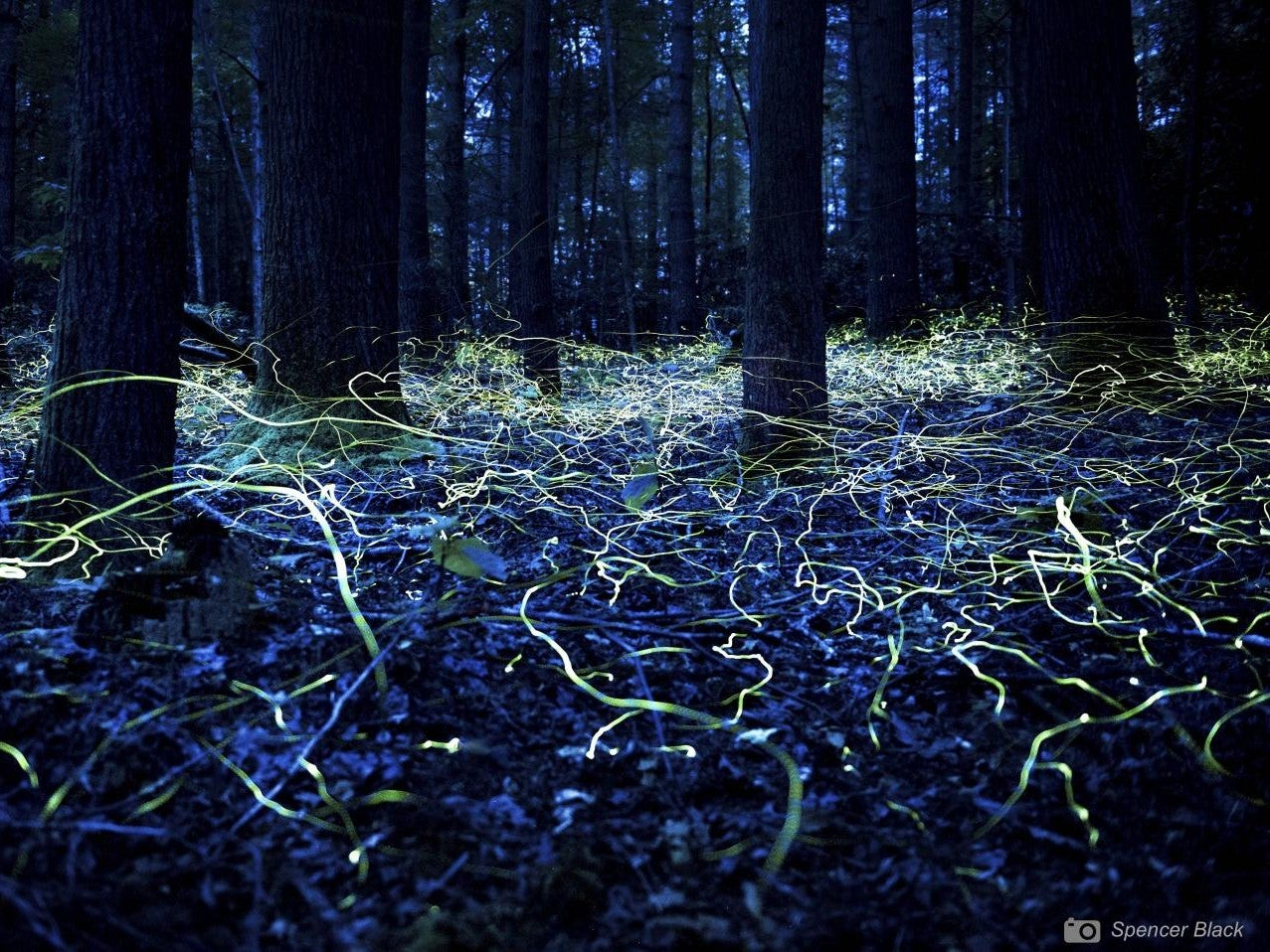 Male blue ghost fireflies in a forest in North Carolina