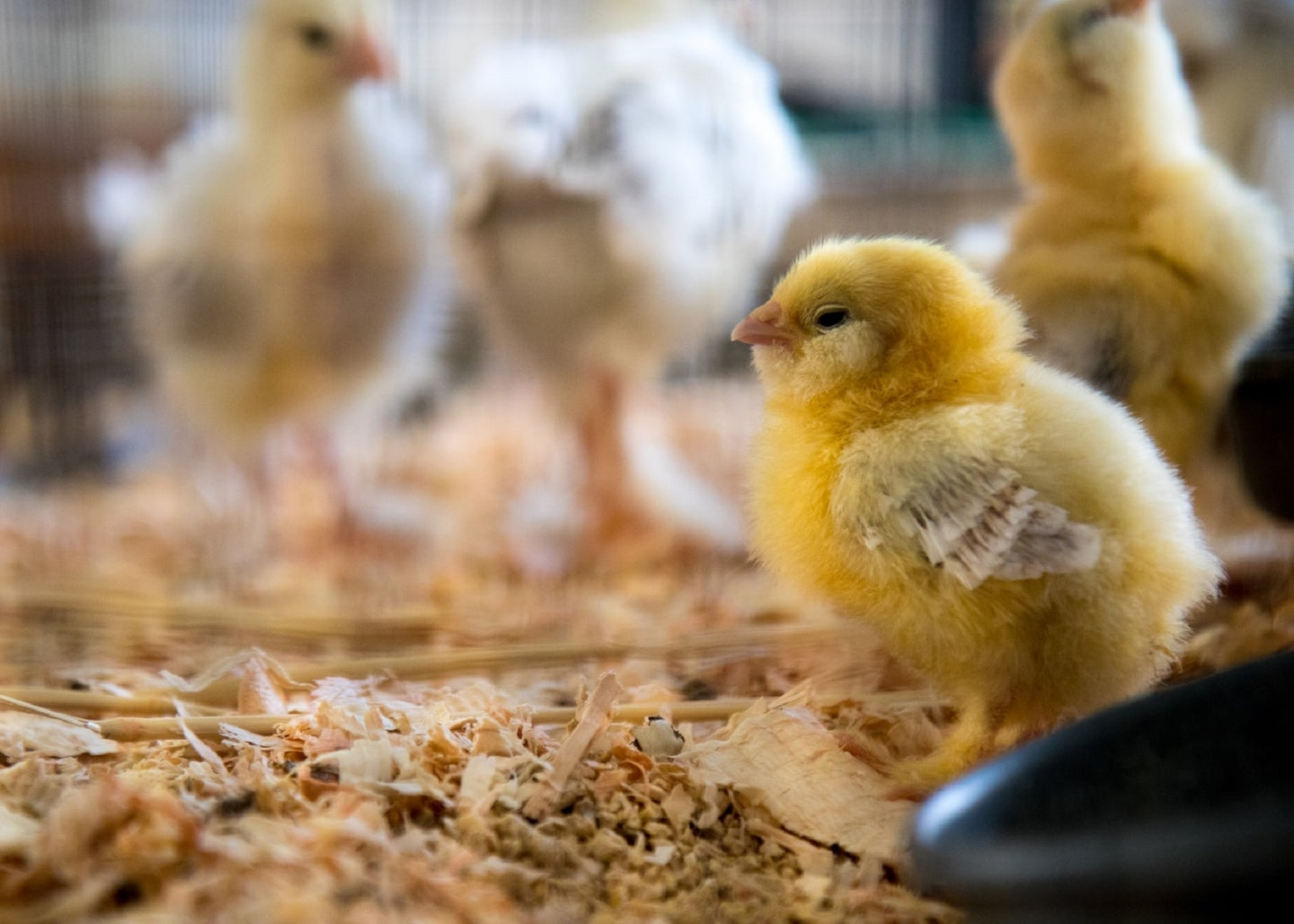 Chick sitting on woodchips in a wire pen