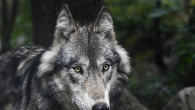 Wisconsin permitted people to hunt a contentious species. That might change next year.