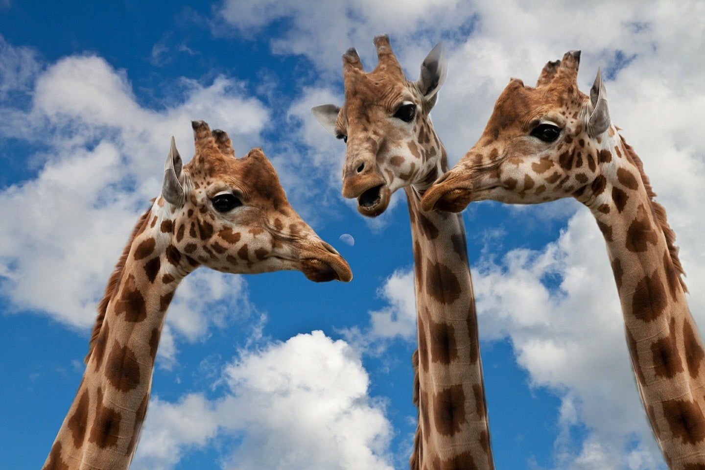 A trio of giraffes from the necks up against a cloudy sky backdrop.